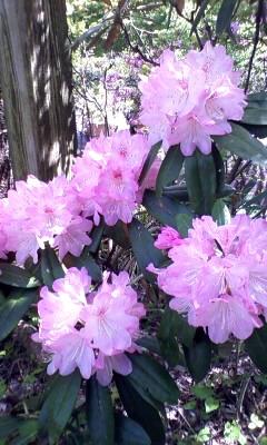 シャクナゲ〜春爛漫